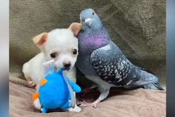 Lundy, the Chihuahua, and his pigeon friend, Herman.