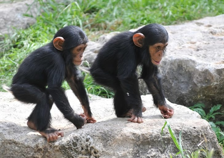 A pair of young chimps