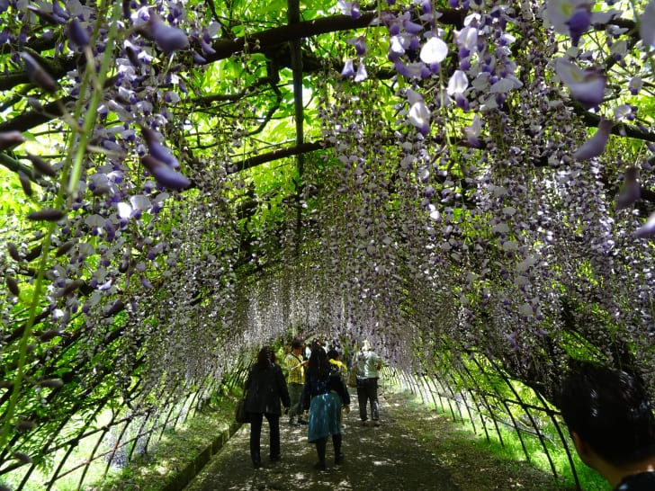 A wisteria tunnel