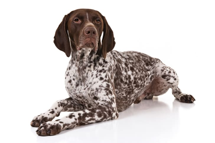 German shorthaired pointer.
