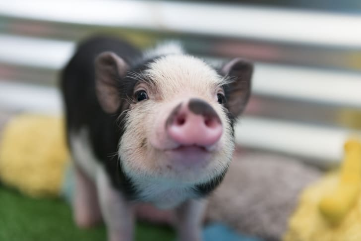 Adorable baby piglet looks right at the camera