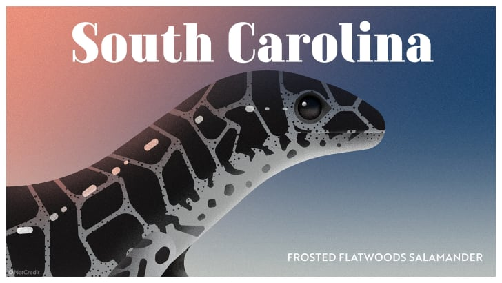 South Carolina's frosted flatwoods salamander