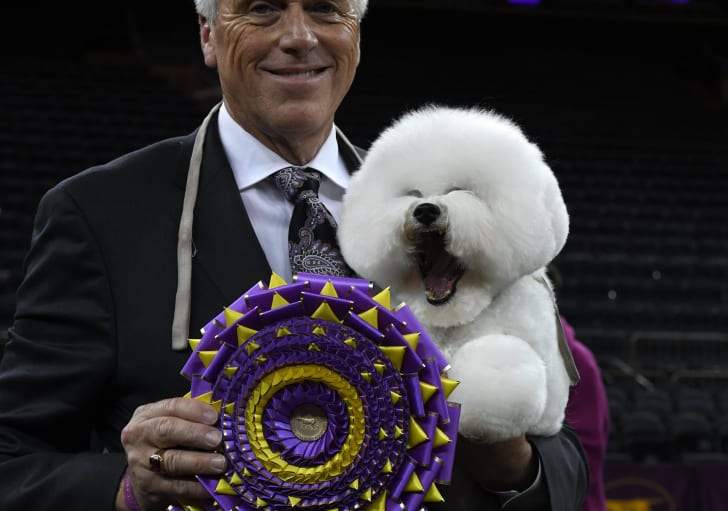 'Flynn' the Bichon Frise, with handler Bill McFadden, poses after winning 'Best in Show' at the Westminster Kennel Club 142nd Annual Dog Show in 2018