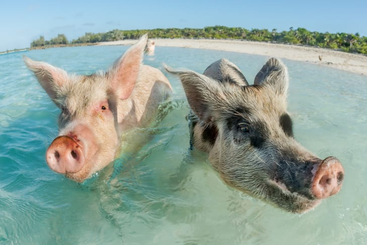 Two pigs swimming in the Bahamas