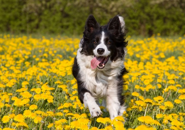 Border Collie playing in a dandelion field