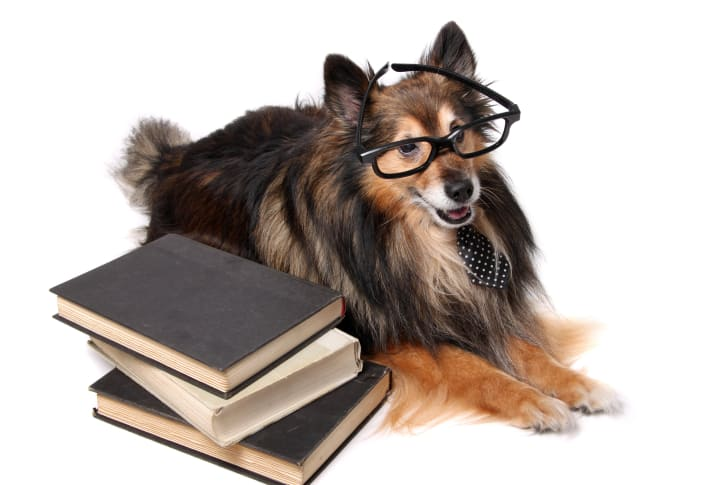 Shetland sheepdog wearing glasses and sitting with a pile of books