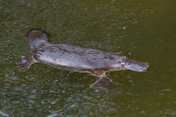 Platypus swimming in greenish water