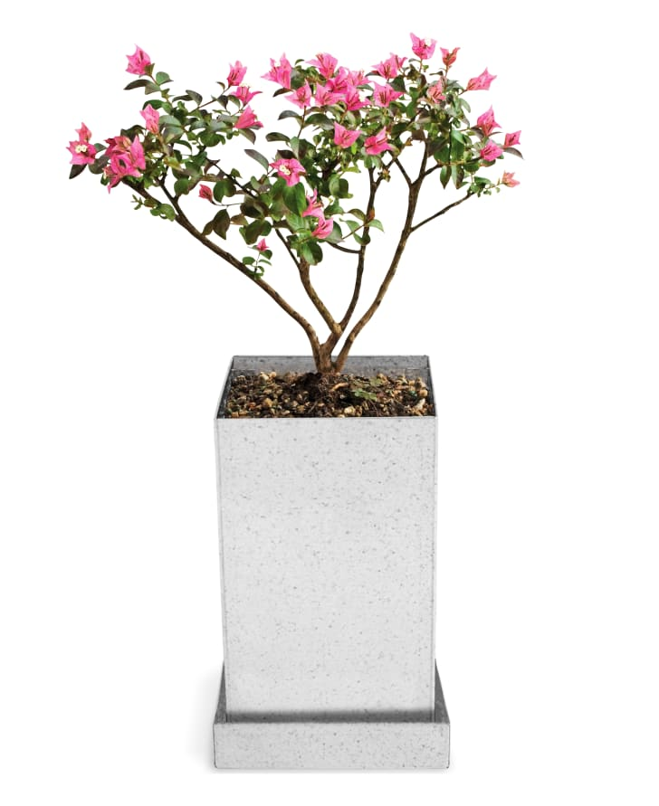 MoMA Design Store Crepe Myrtle Bonsai Growing Kit