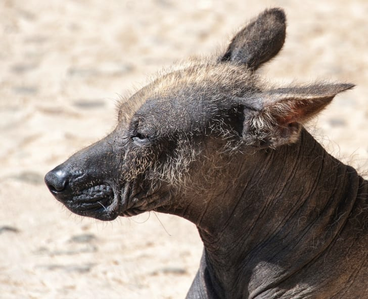 Photo of a Peruvian hairless dog