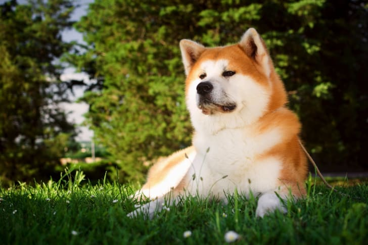 Akita dog in grass