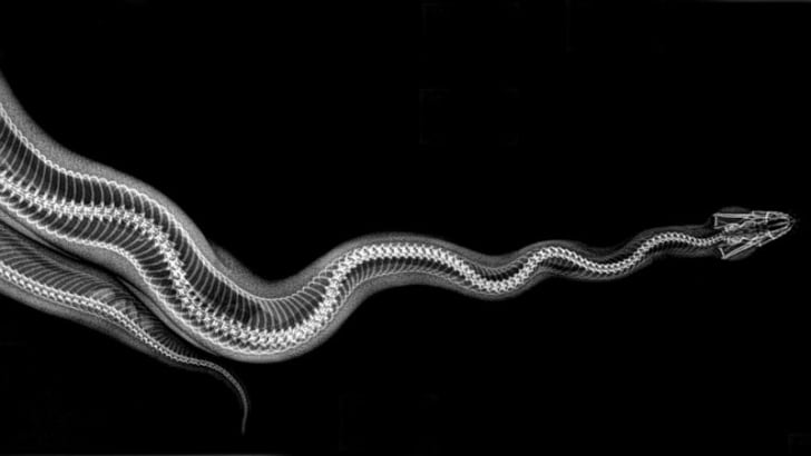 An X-ray image of a ball python courtesy of the Oregon Zoo