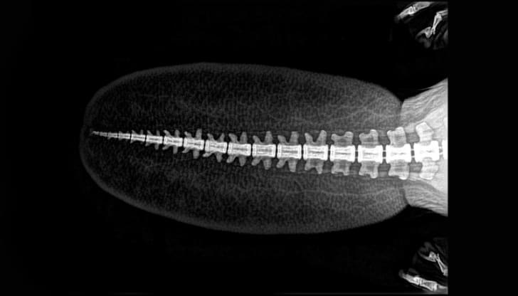 An X-ray image of a beaver tail courtesy of the Oregon Zoo
