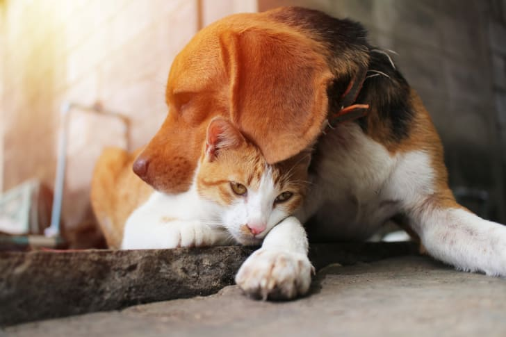 A Beagle and a cat cuddle together