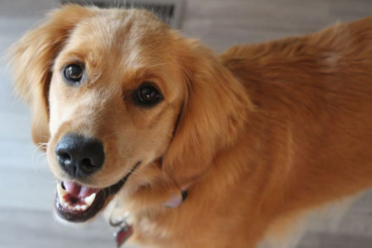 Friendly Golden Retriever looks at the camera