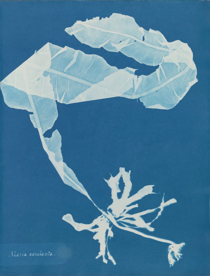 Anna Atkins, Alaria esculenta, in Photographs of British Algae: Cyanotype Impressions