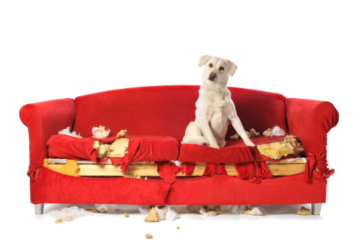 Bad dog sits on chewed up couch
