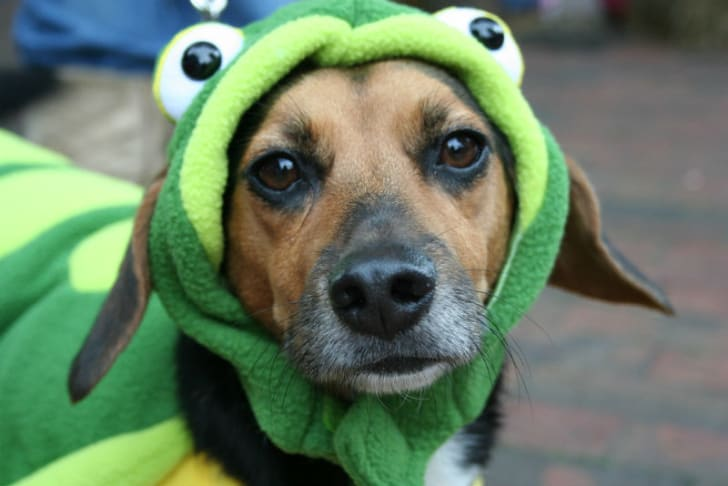 A dog wears a frog costume for Halloween