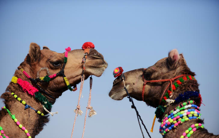 Decorated camels