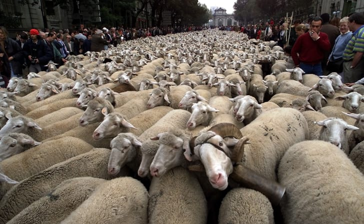 Hundreds of sheep in the street