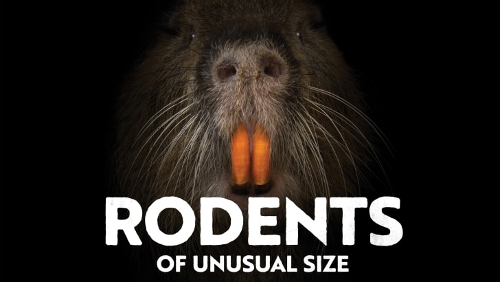 The snout of a nutria on a black background with the words 'Rodents of Unusual Size'