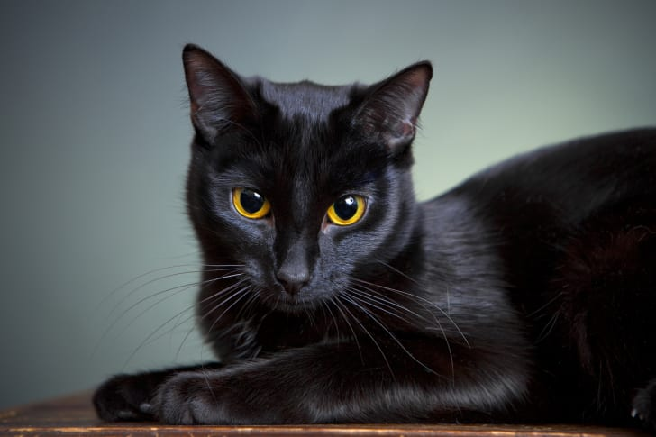 A black cat is photographed against a blue-gray background