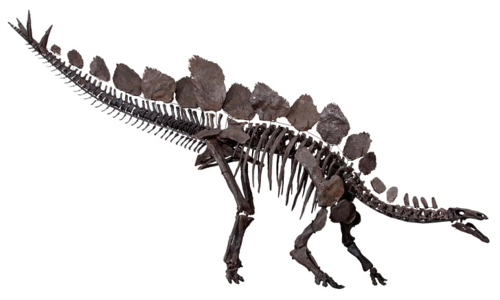 Mounted skeleton of Stegosaurus stenops in right lateral view at the Natural History Museum, London.
