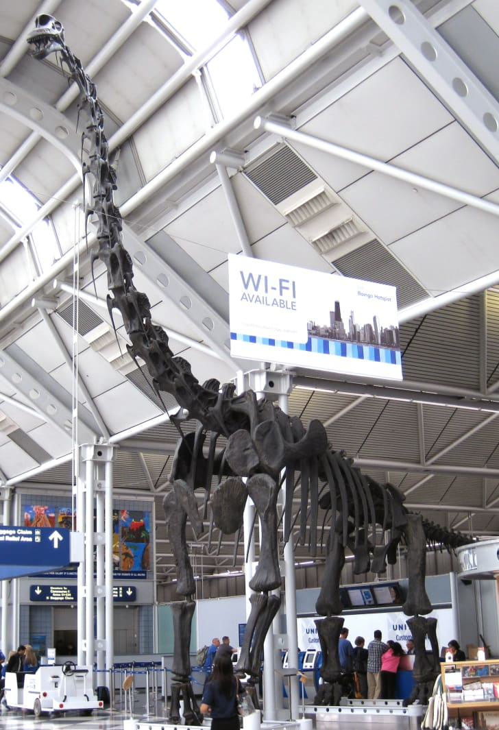 Reconstructed skeleton showing the neck pointing upwards, at O'Hare International Airport (formerly housed in the Field Museum)
