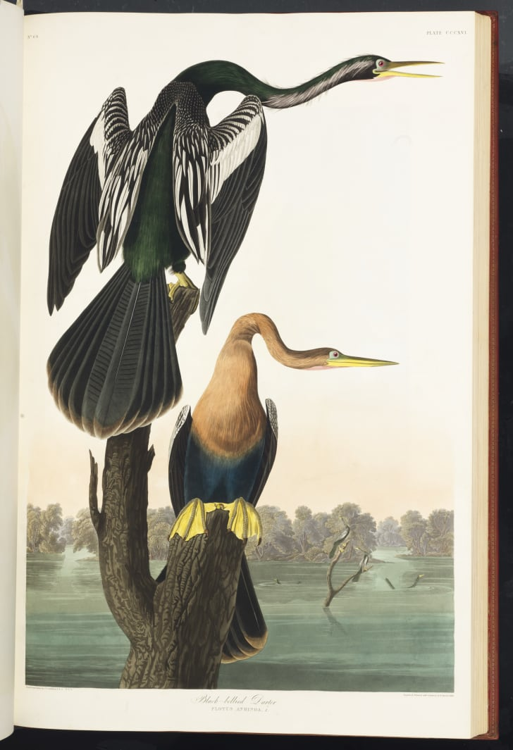 Illustration of American birds.