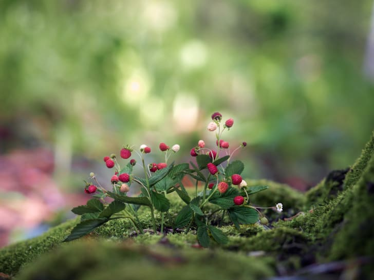 A patch of wild strawberries