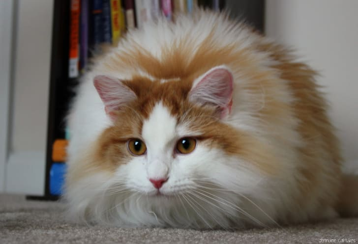 Very fluffy cat.