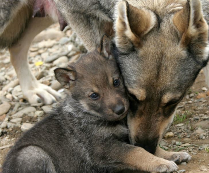 A wolf cub sits next to its mother