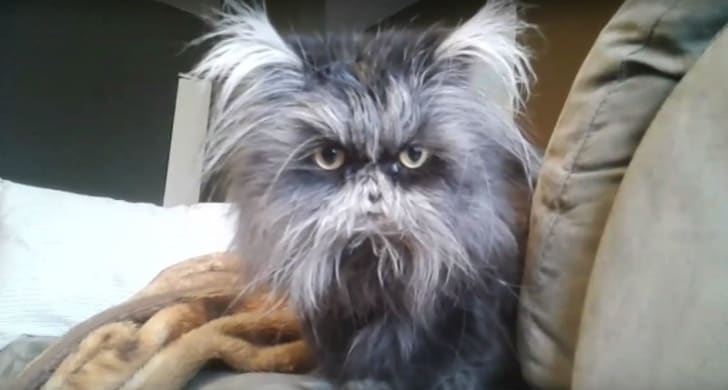 A screen capture of a cat with hypertrichosis