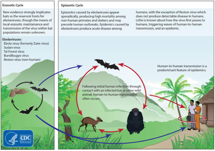 CDC illustration of cycle of ebola infection from bats to humans and animals