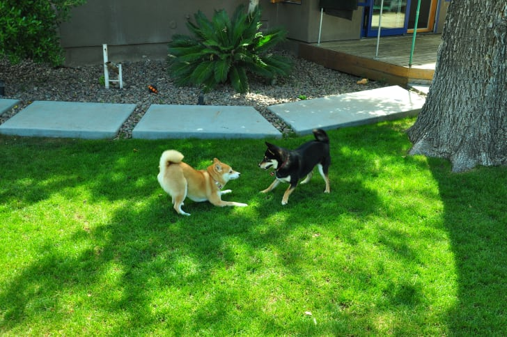 Shiba inus playing outside.