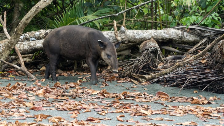 A Baird's tapir on a beach in Costa Rica's Corcovado National Park.