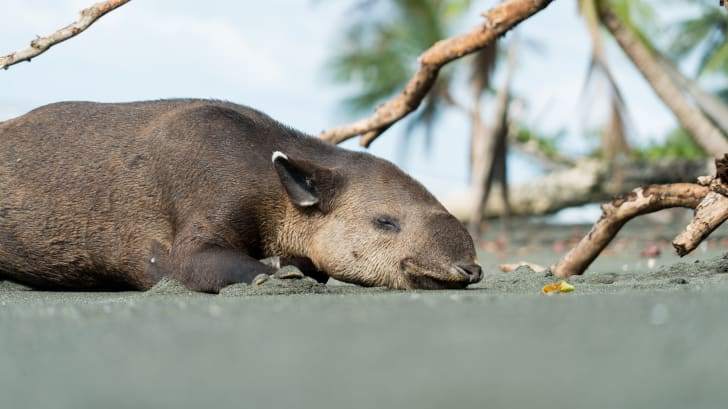 A Baird's tapir resting on a beach in Costa Rica's Corcovado National Park.