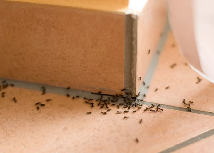 Ants invade a house