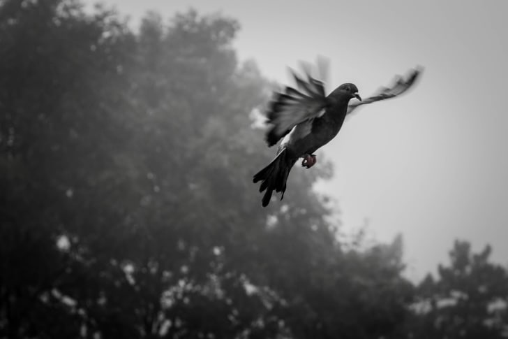 A pigeon flying in front of trees.