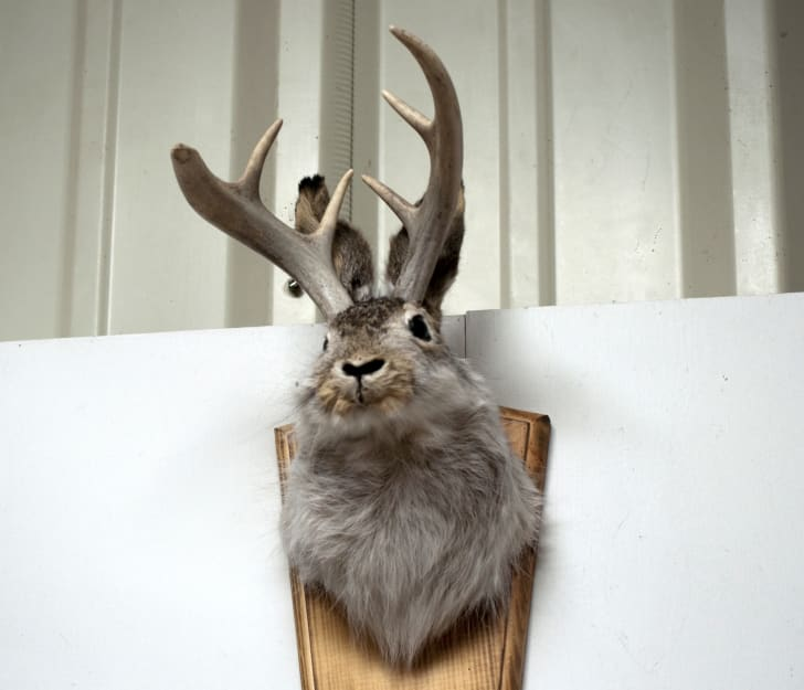 Jackalope head on wall