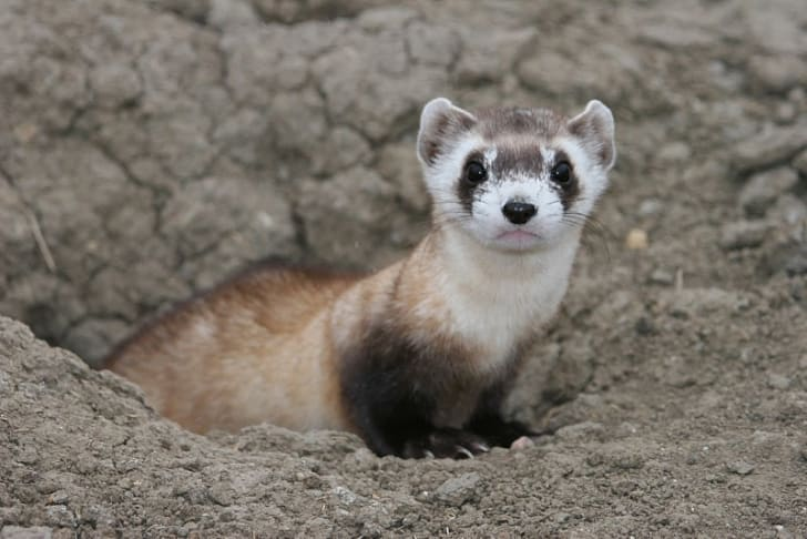 Black-footed ferret on the ground.