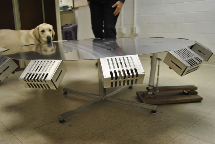"""A dog looks out over the metal """"pinhweel"""" training mechanism."""