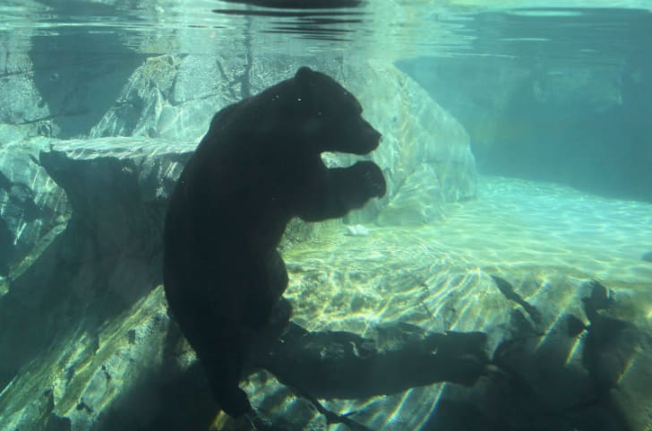 A grizzly bear is shown swimming at a pool in an Illinois zoo