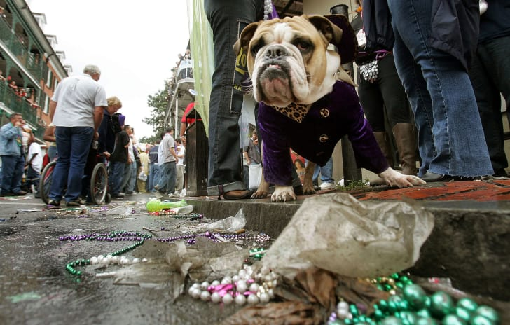 Photo of a well-dressed bulldog celebrating Mardi Gras in New Orleans.
