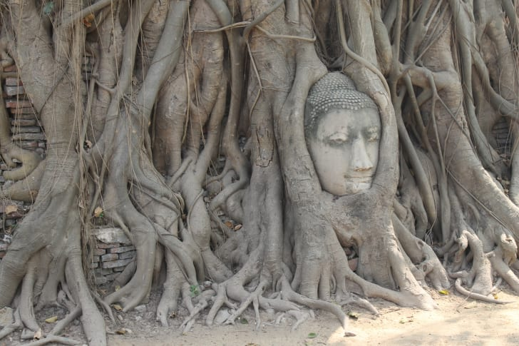 A head from a Buddha statue entwined in tree roots.