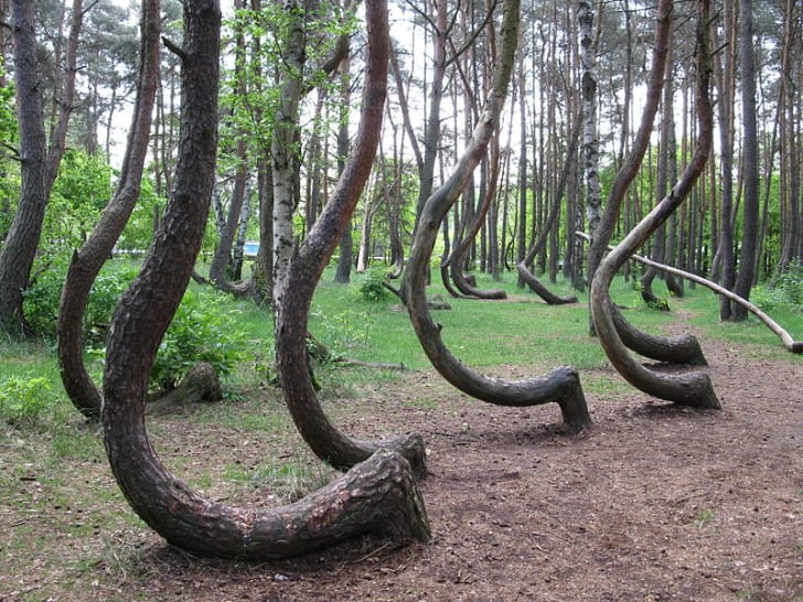 A series of oddly curved tree trunks that seem to be naturally occurring.