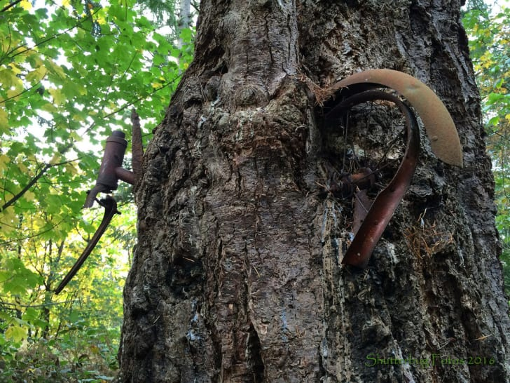 A tree embedded in the bark of a tree.