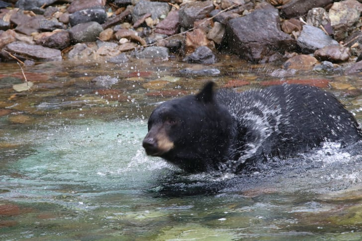 bear shaking water off in glacier national park