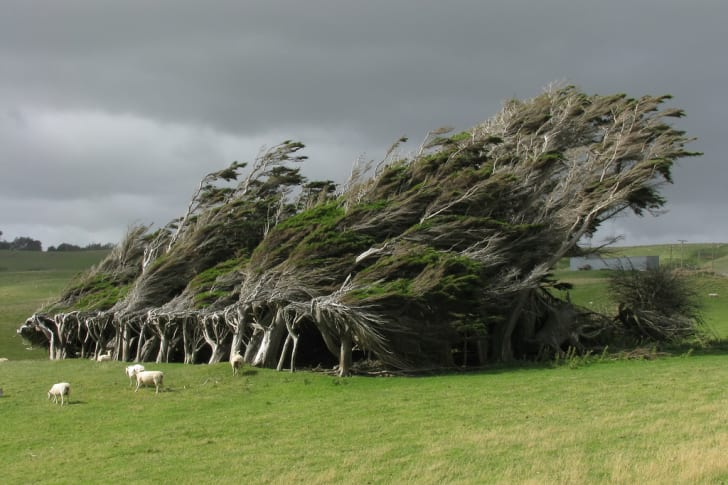 A copse of trees that look as if they are being forcefully blown to the right by wind. Sheep graze in the grass at the bottom of the trees.