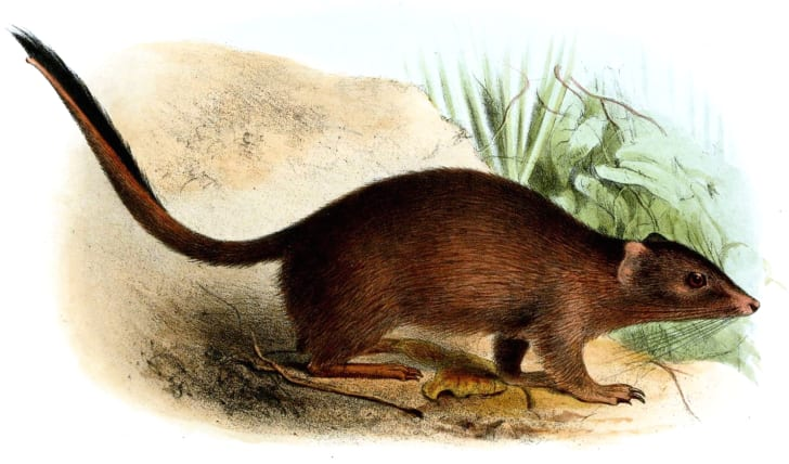 An illustration of the Crest-tailed Mulgara