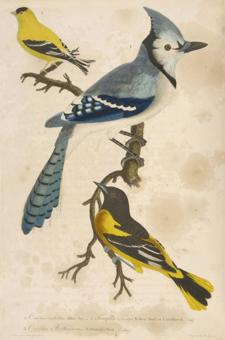 Plate 1 of Alexander Wilson's American Ornithology, featuring a blue jay, a goldfinch, and a Baltimore bird.